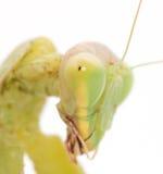 Portrait of a praying mantis Stock Photos