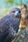 The portrait of predator buzzard Stock Photography