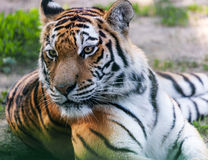 Portrait predator tiger closeup. In spring nature Stock Photo