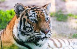 Portrait predator tiger. Spring in nature Royalty Free Stock Photo