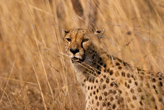 Cheetah portrait. Wild cheetah portrait in African savannah Stock Photos
