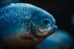 Portrait of predatory piranha fish in the zoo aquarium stock photography
