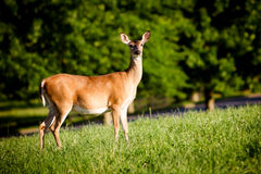 Portrait of pregnant whitetail deer doe stock images