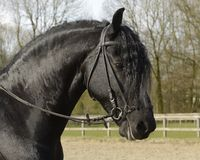 Portrait of a black frisian horse wearing a bridle royalty free stock images
