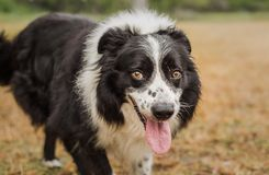 Portrait of a pretty, senior black and white border collie royalty free stock photo