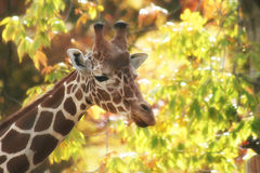 A portrait of a pretty giraffe Stock Photos
