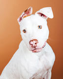 Portrait Pretty Large White Dog Over Brown Stock Photos