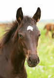 Portrait of pretty little  foal in field Stock Photography