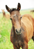 Portrait of pretty little  foal in field Royalty Free Stock Photos