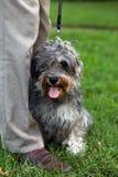 Portrait of pretty mini schnauzer. In nature stock image