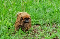 Portrait of pretty pekingese dog in grass royalty free stock photos