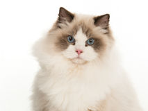 Portrait of pretty rag doll cat Stock Image