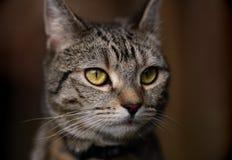 Portrait of Pretty Tabby Cat stock photography