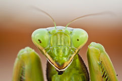 Portrait of a Preying Mantis. A portrait of a preying mantis looking straight down the lens Stock Photo