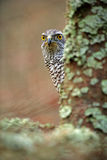 Portrait principal caché d'autour Détail d'oiseau d'autour de proie Faucon d'oiseau se reposant sur la branche dans la forêt tomb Images libres de droits