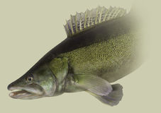 Portrait principal de la pêche de Zander Photos stock