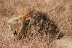 Portrait principal de lion Images libres de droits