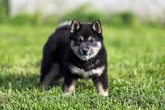 Portrait principal de tir d'un jeune chien de shiba Photographie stock libre de droits