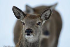 Portrait principal femelle de cerfs communs rouges, hiver Photos libres de droits