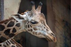 Portrait principal haut étroit de tir de girafe Image stock