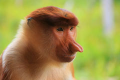 Portrait of Proboscis monkey, Borneo Stock Photography