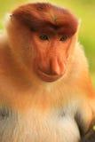 Portrait of Proboscis monkey, Borneo Royalty Free Stock Images
