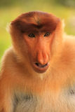 Portrait of Proboscis monkey, Borneo Stock Photo
