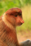 Portrait of Proboscis monkey, Borneo Royalty Free Stock Images