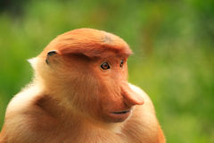 Portrait of Proboscis monkey, Borneo Royalty Free Stock Photography