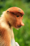 Portrait of Proboscis monkey, Borneo Royalty Free Stock Image