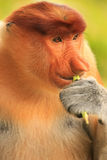 Portrait of Proboscis monkey eating, Borneo Stock Images