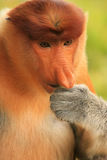 Portrait of Proboscis monkey eating, Borneo Stock Image