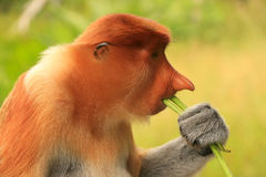Portrait of Proboscis monkey eating, Borneo Stock Photos