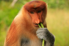 Portrait of Proboscis monkey eating, Borneo Royalty Free Stock Photography