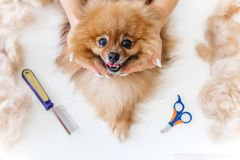 A portrait of a professional dog hairdresser grooming a dog. With scissors stock images