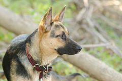 Portrait in profile of a half-breed dog yard and a German shepherd, lies on the sand Royalty Free Stock Image