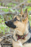 Portrait in profile of a half-breed dog yard and a German Shepherd who looks up Stock Photo
