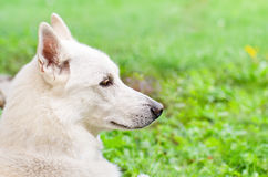 A portrait in profile of a white dog Stock Photos