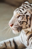 Portrait of profile a white tiger Royalty Free Stock Photo