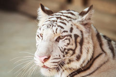 Portrait of profile a white tiger Stock Image
