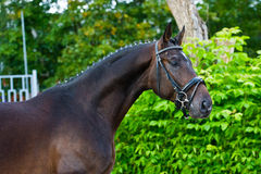 Stallion - breeder horse on green background. Portrait of proud bay hannoverian horse against the background of green leaves and shrubs Stock Images