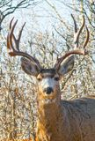 A Portrait of a Proud Buck Mule Deer. As if pausing for the camera, a buck deer pauses for the camera embedded in scrub oak Stock Photo