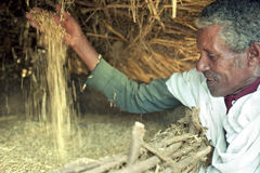 Portrait of proud Ethiopian farmer and grain harvest royalty free stock image