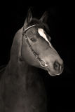 Portrait of proud hannoverian horse. On the black Stock Photos