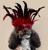 It`s carnival, harlequin poodle costumed with red feather mask royalty free stock photo