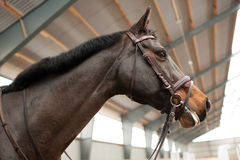 Portrait of a proud mare Stock Photography