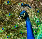 Portrait of Proud Peacock royalty free stock images