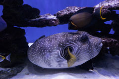 Portrait of a puffer fish Stock Photography