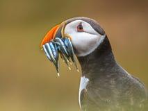 Portrait Puffin with beak full of fish Stock Image