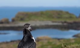Portrait of puffin looking out to sea in puffin colony in Hebrides Stock Photos